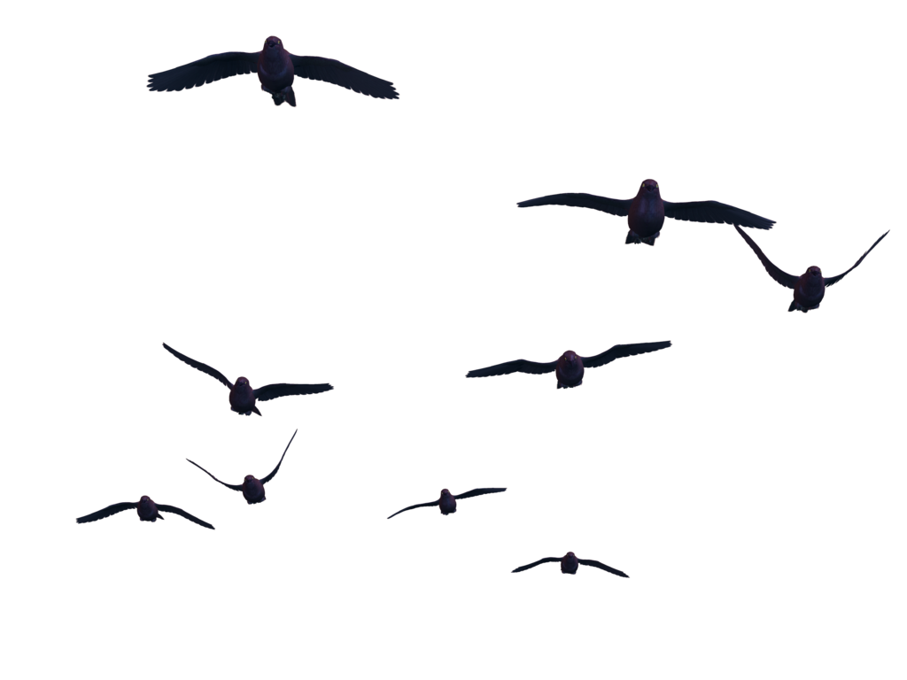 Flying bird images transparent. Birds png clipart royalty free