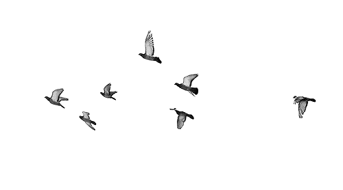 Bird gif png. Free flying birds transparent