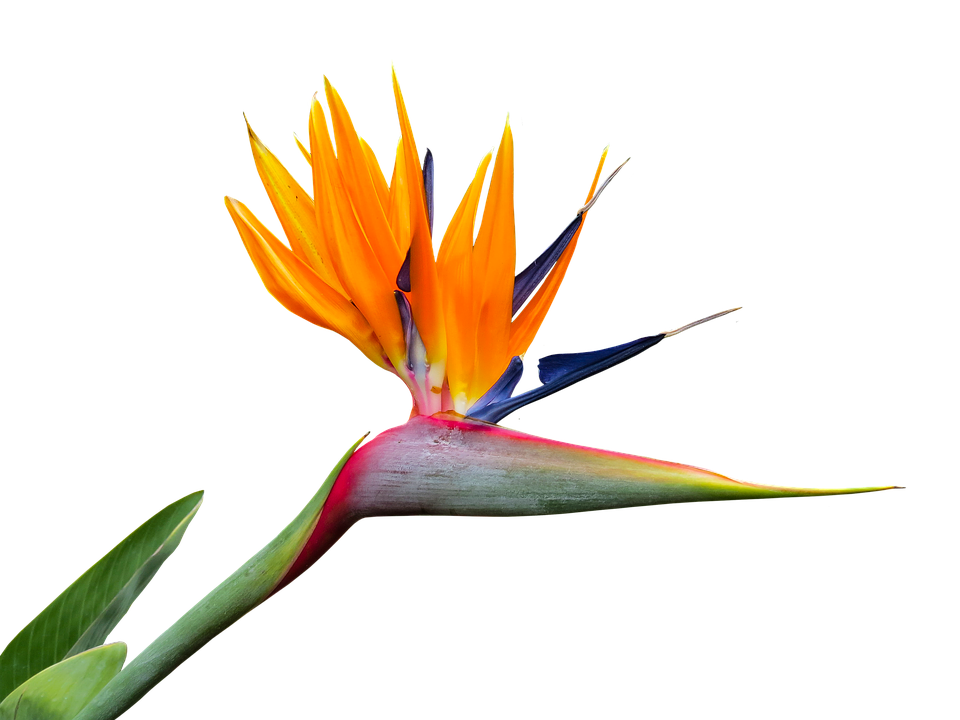 Bird of paradise flower png. Free photo strelitzia isolated