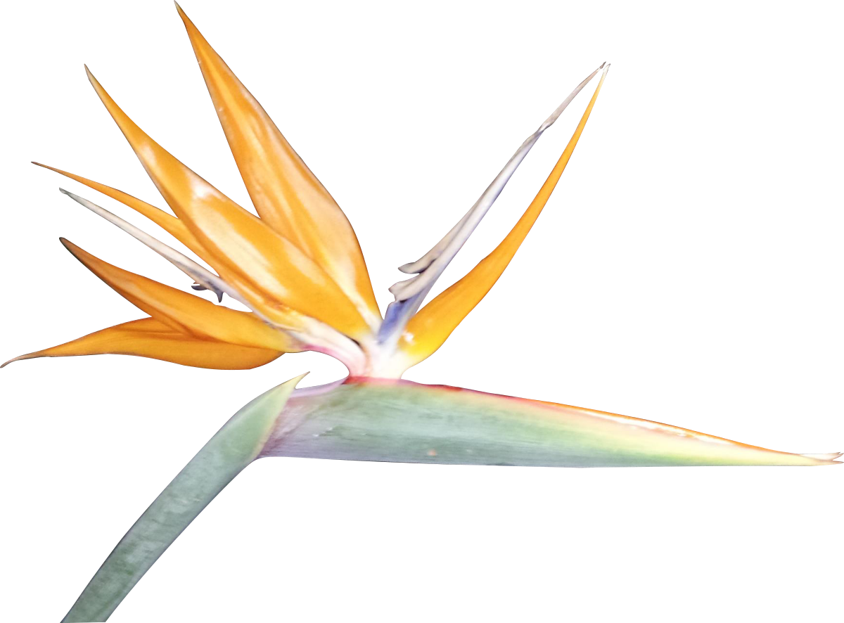Bird of paradise flower png. Cliparts co rcj kaa
