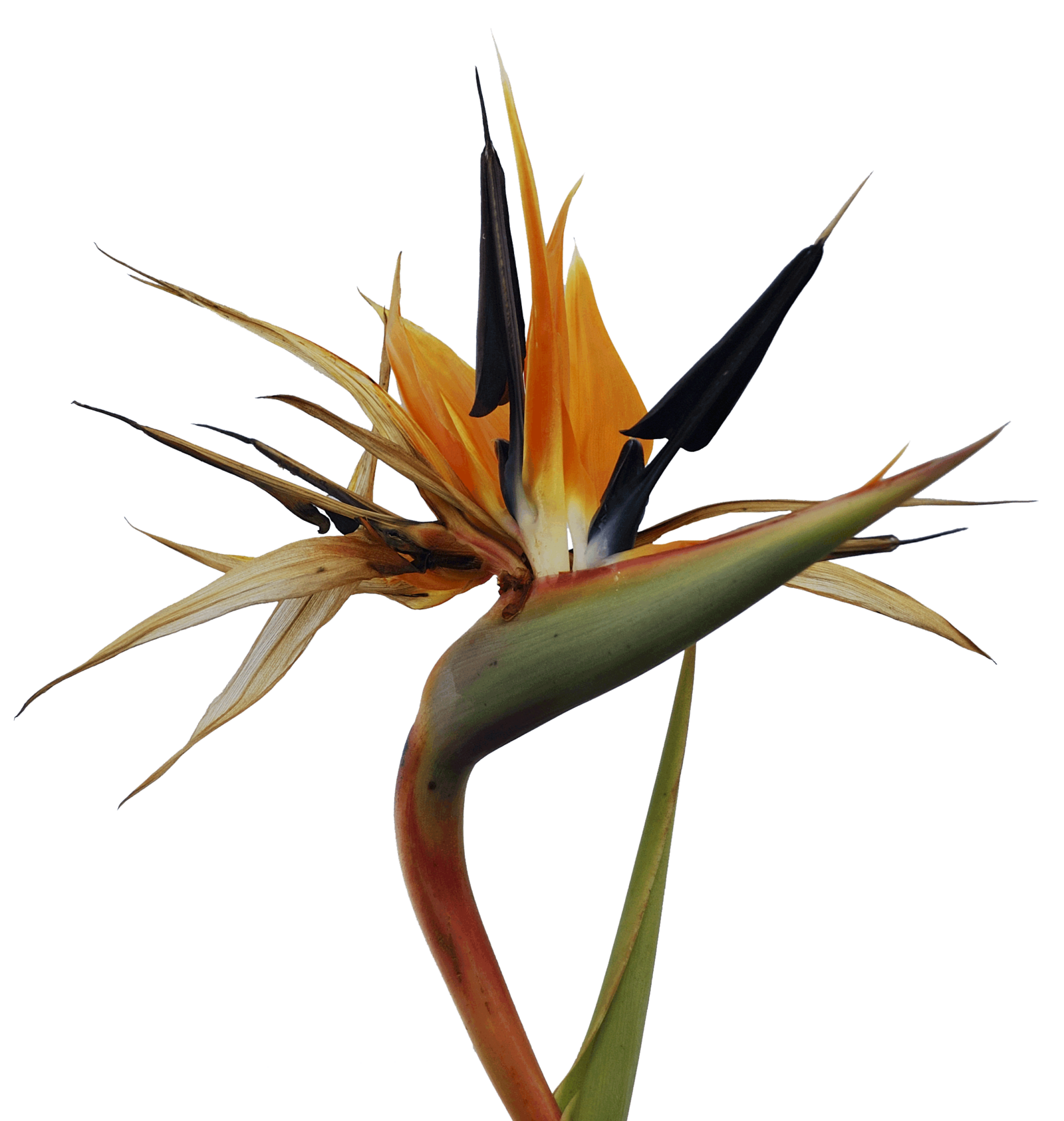 Bird of paradise flower png. Cruise black and white