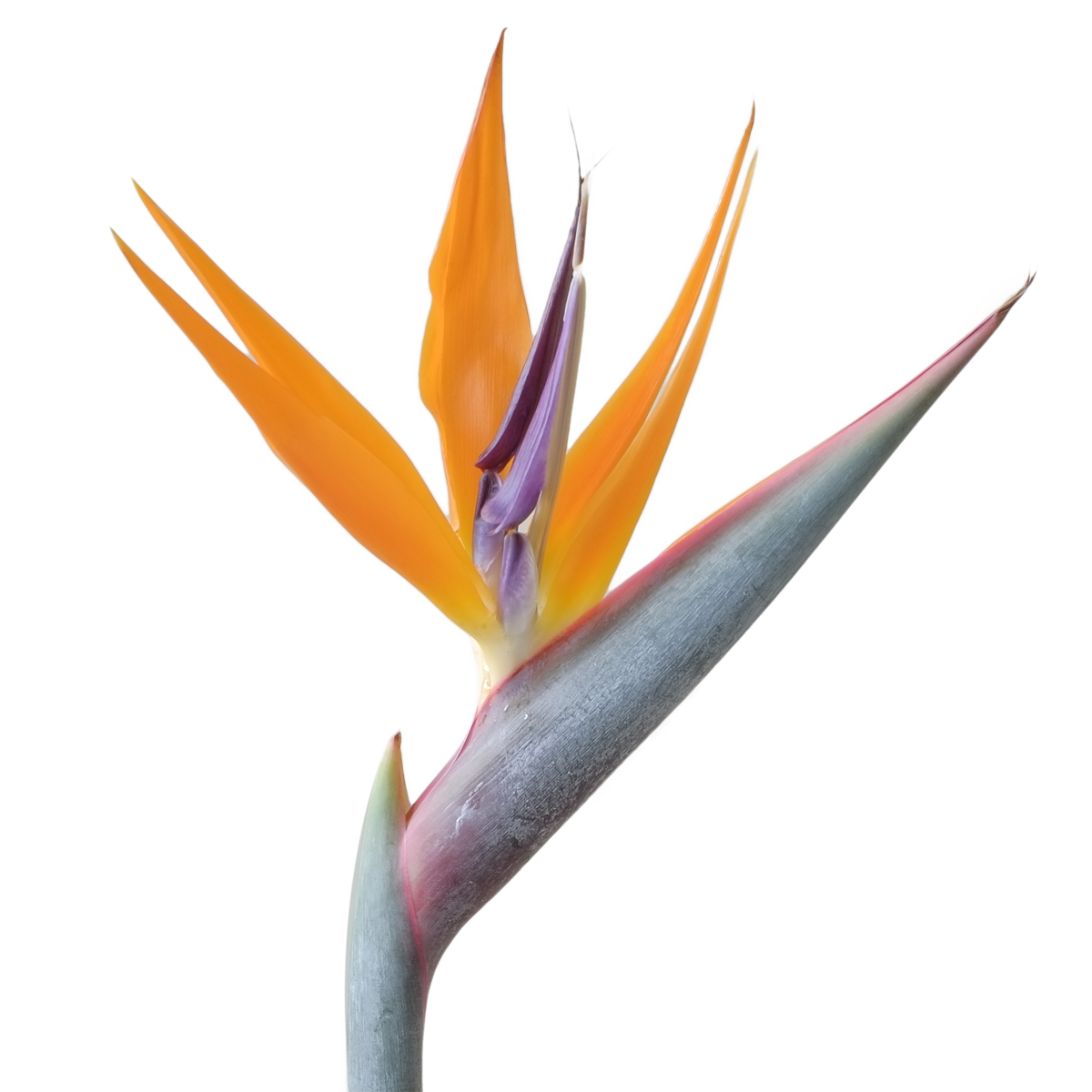 Bird of paradise flower png.