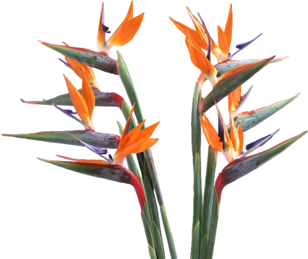 Bird of paradise flower png. Clip art graphics birdsofparadisepng