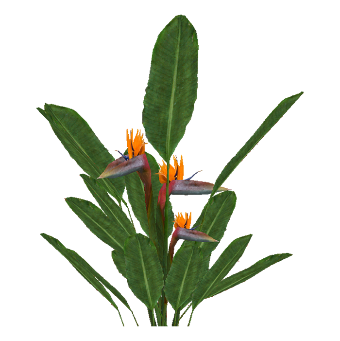 bird of paradise plant png