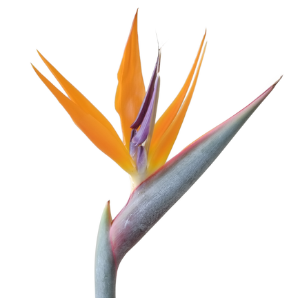 Bird of paradise plant png. Contact us sweetbush tropical