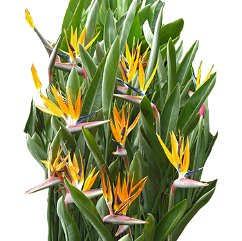 Bird of paradise plant png. Exotic plants archives garden