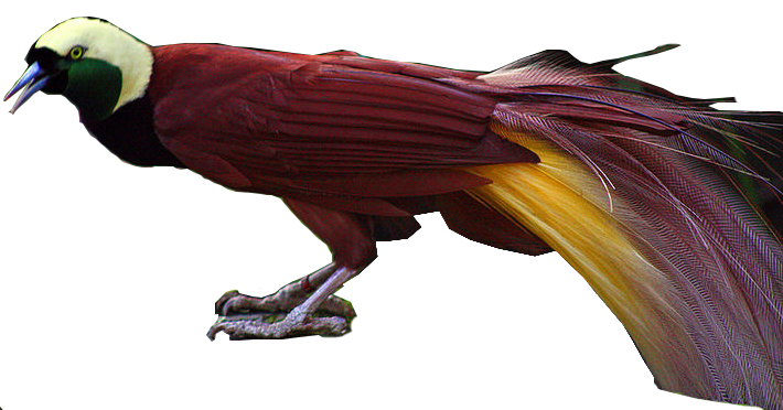 Bird of paradise png. Greater all birds wiki