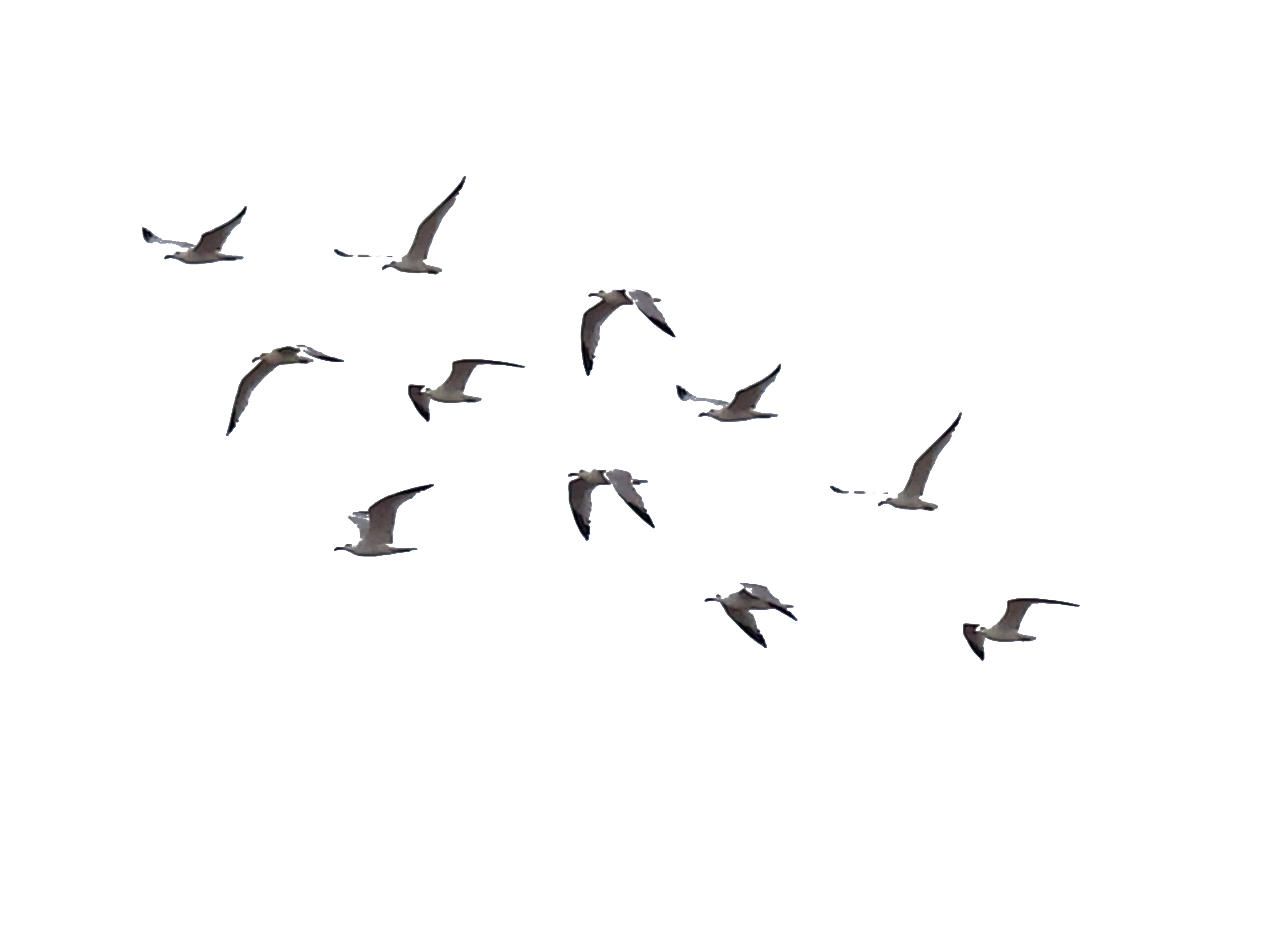 White birds png. Bird transparent images all
