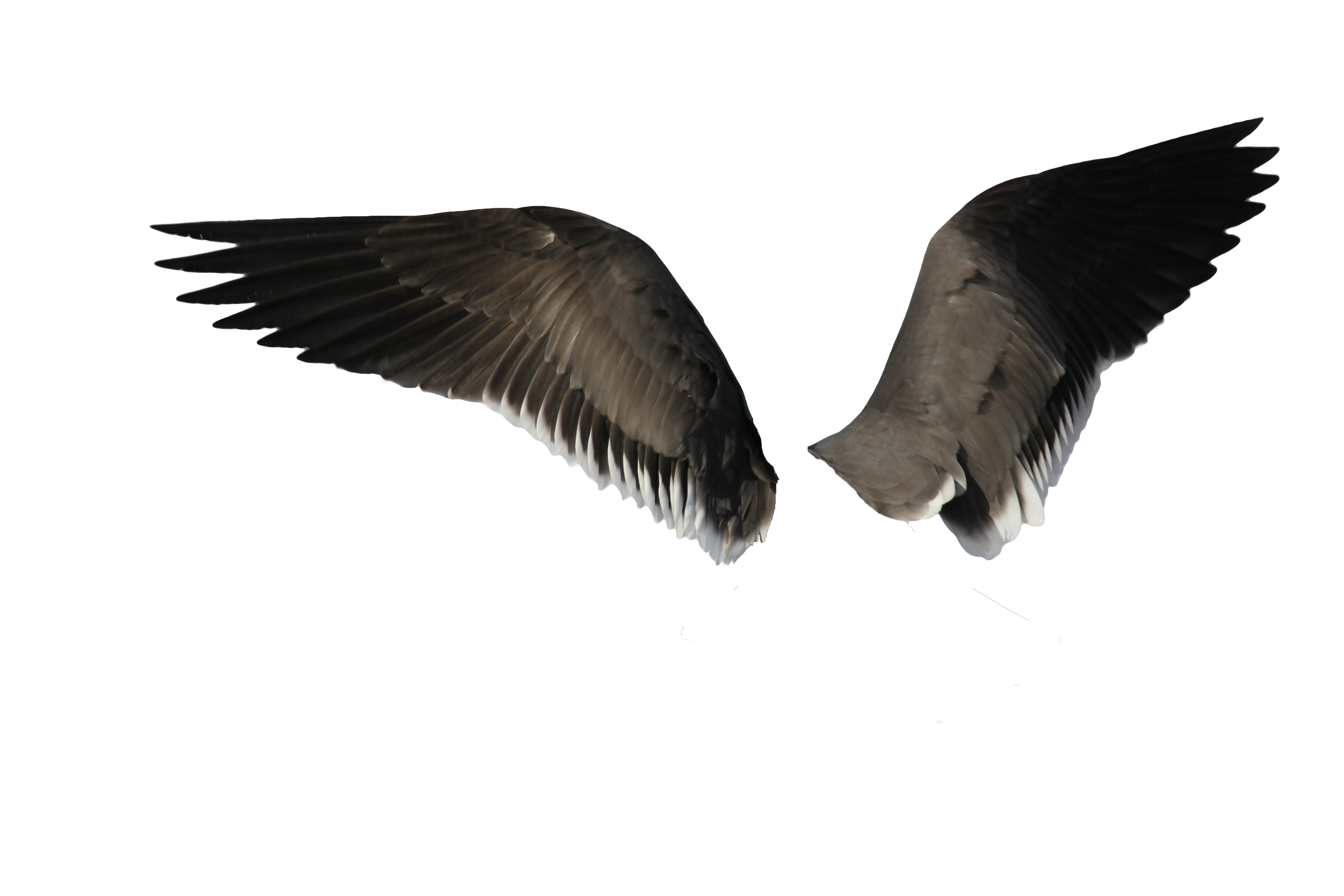 Bird wing png. Wings images free download