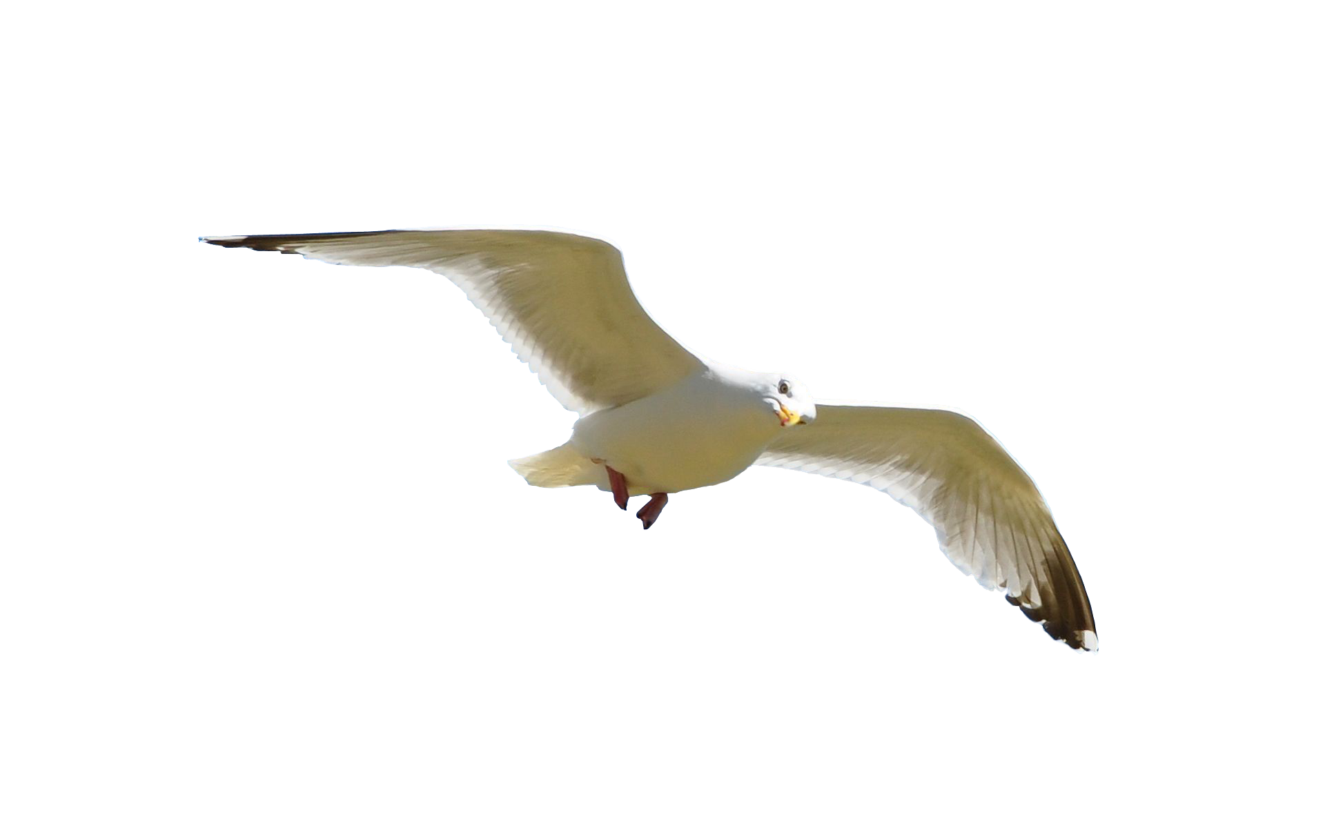Fly flying png. Birds images free download