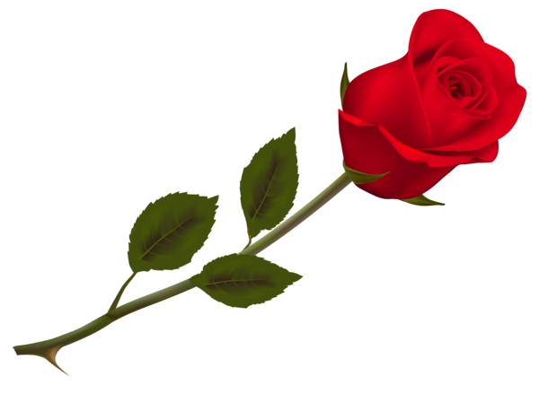 Valentine rose png. Transparent beautiful red picture