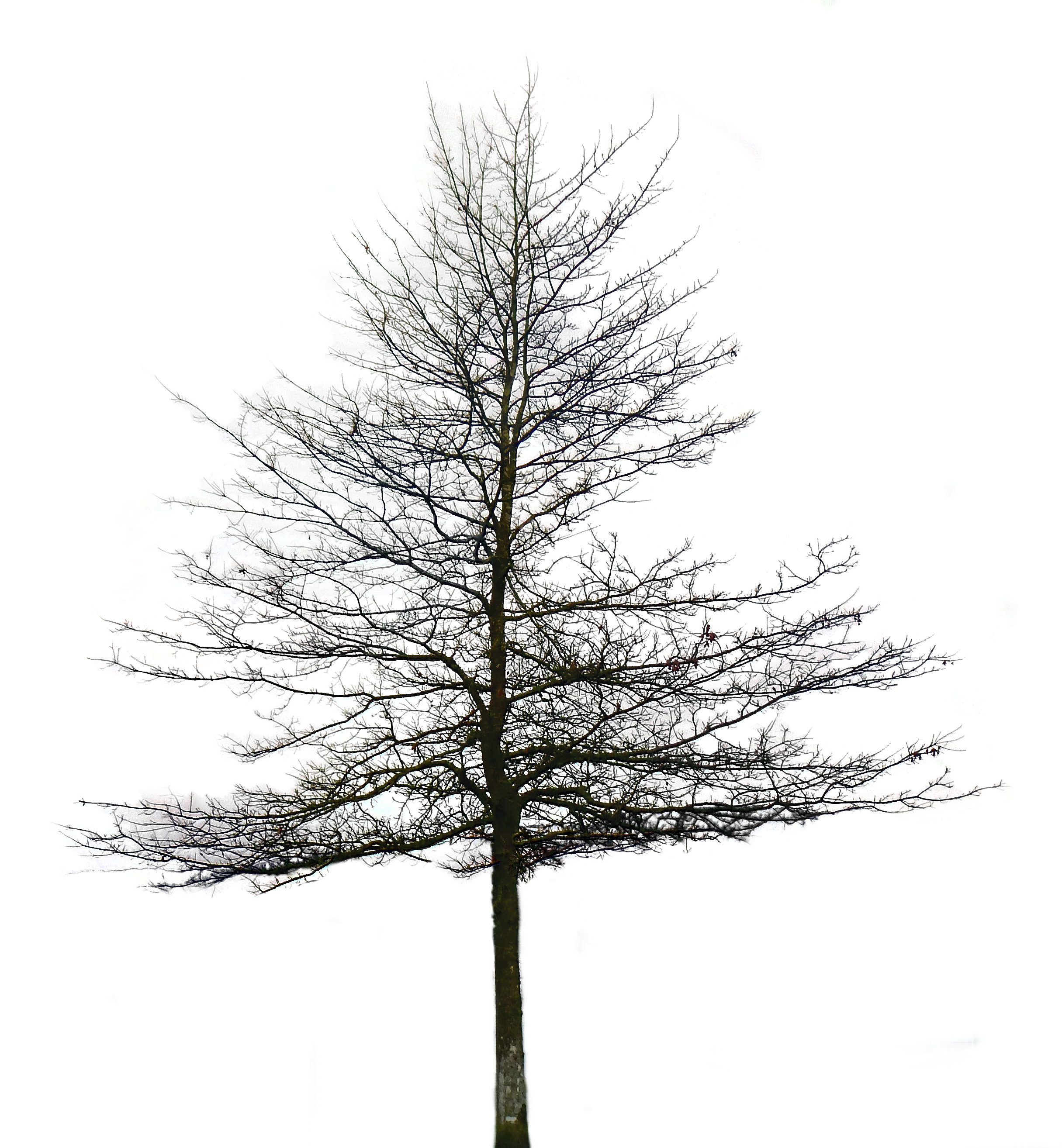 White tree png. Fir black and transparent