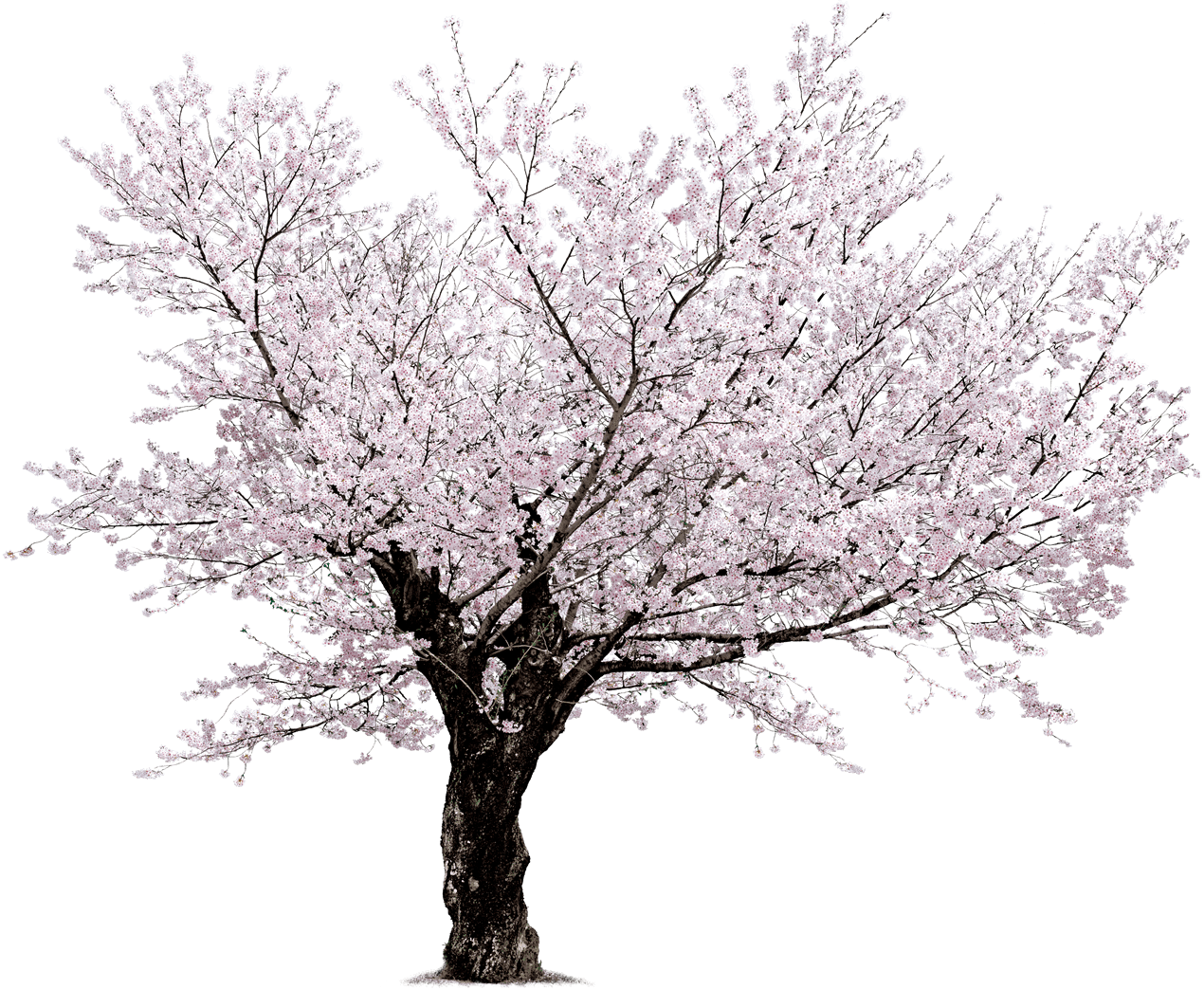 Black and white trees png. Cherry blossom tree hd