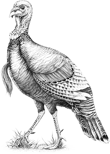 Drawing turkey easy. Wild remember me