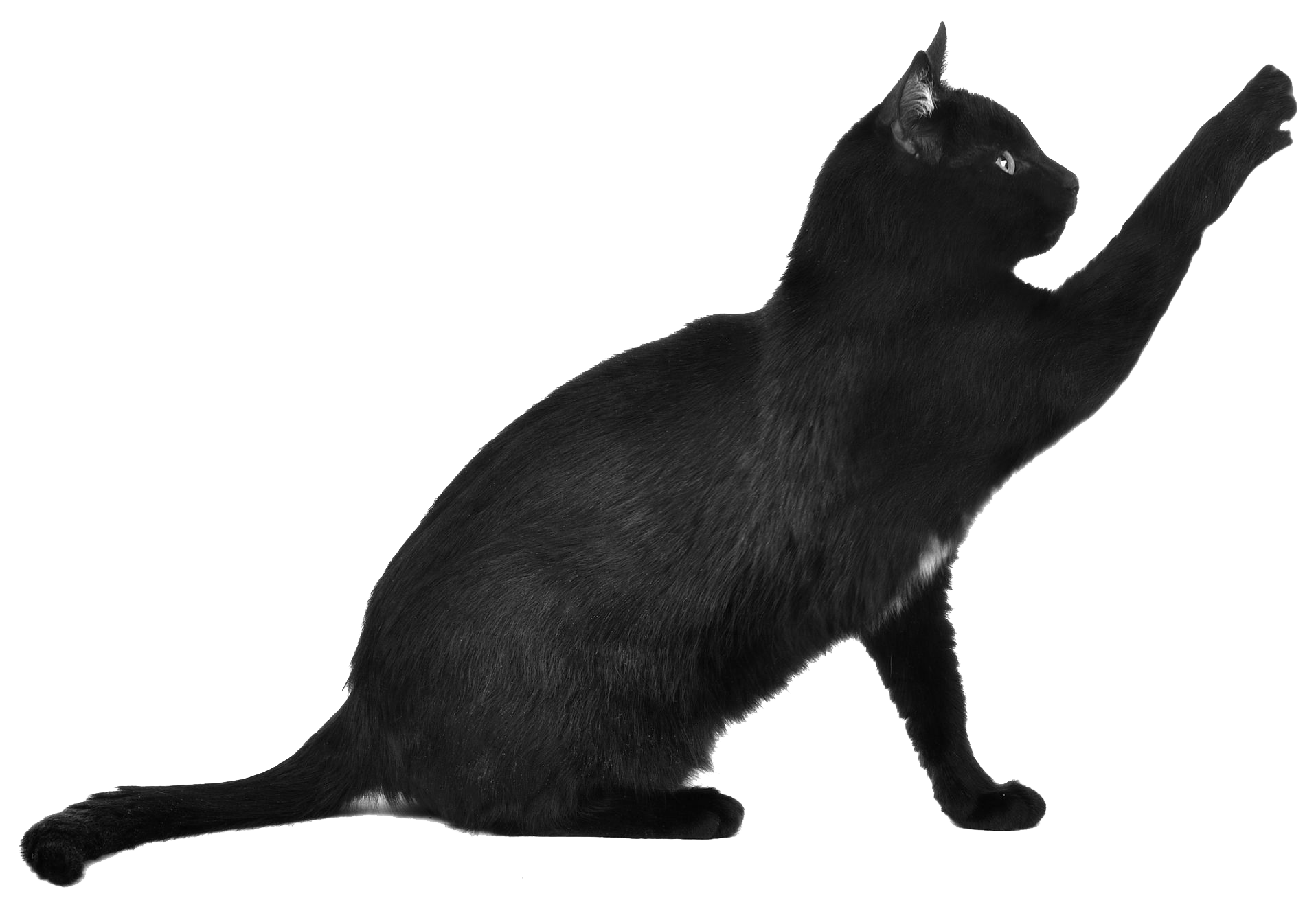 Black cat png. Scratching transparent stickpng