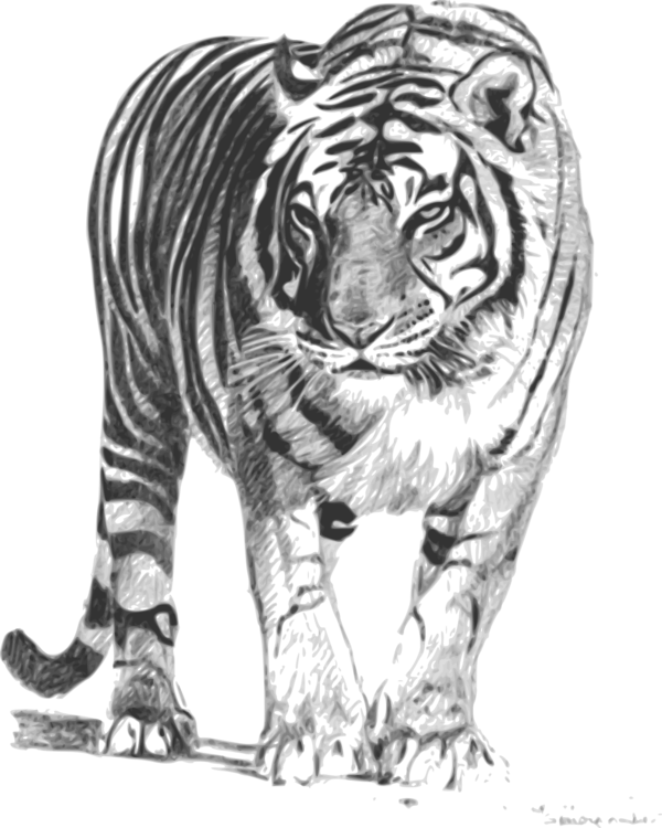 Tigers drawing clipart. Bengal cat tiger white