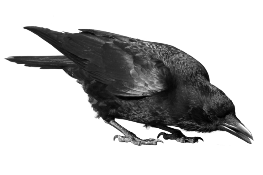 Black crow png. Free images toppng transparent