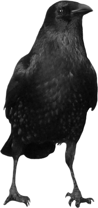 Black crow png. Image the pinterest crows