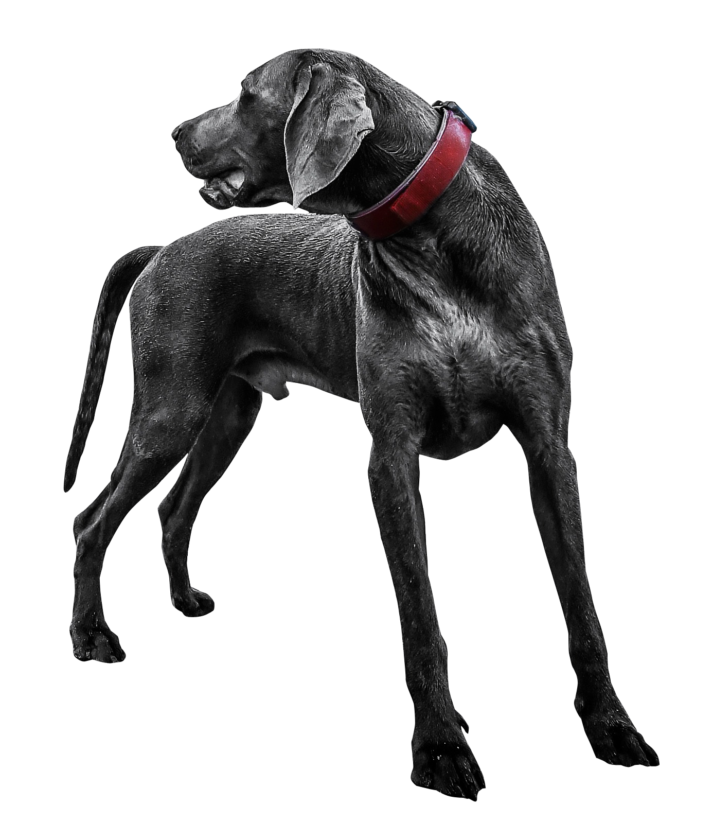 Black dog png. Labrador transparent image pngpix