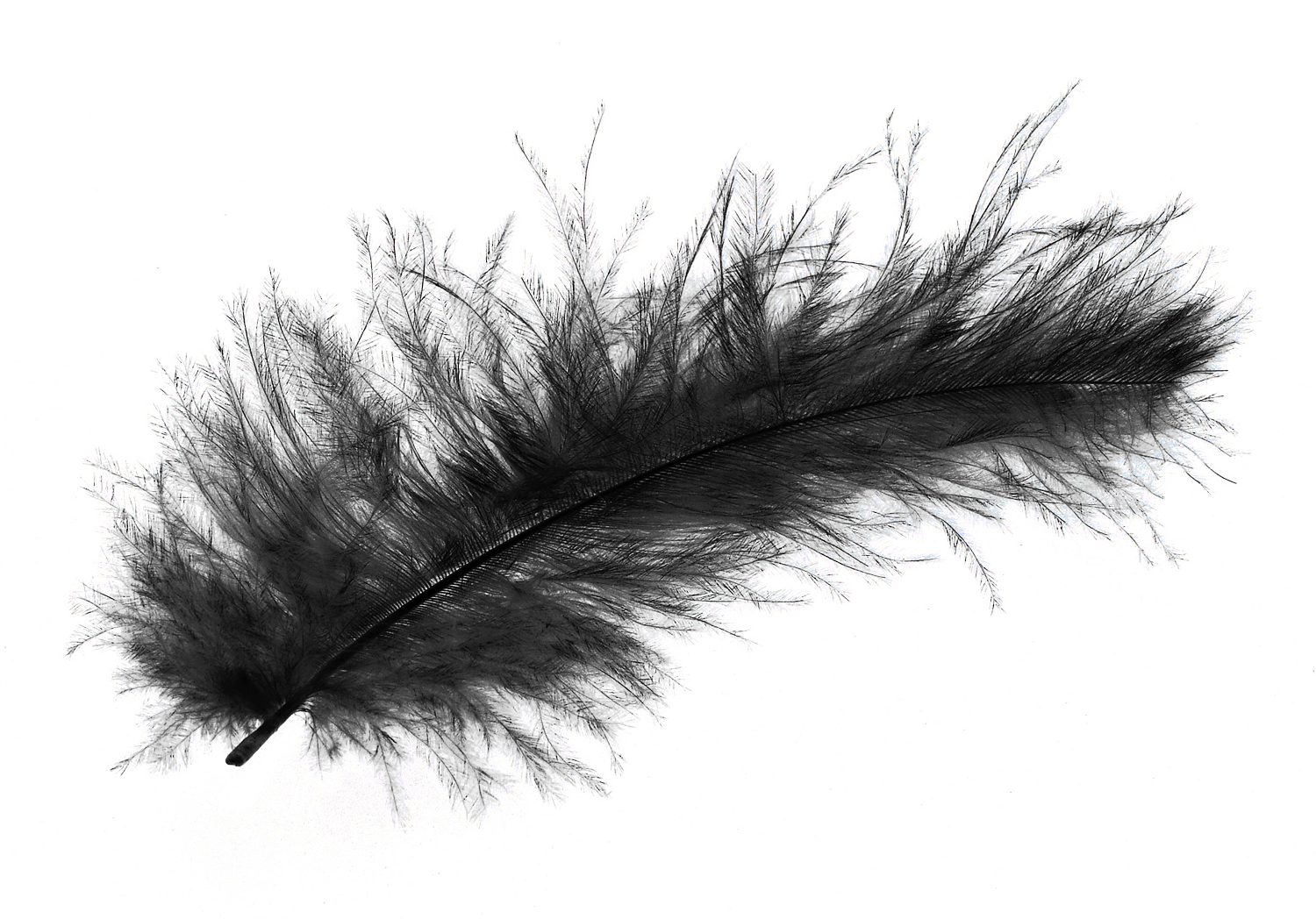Black feather png. Image purepng free transparent