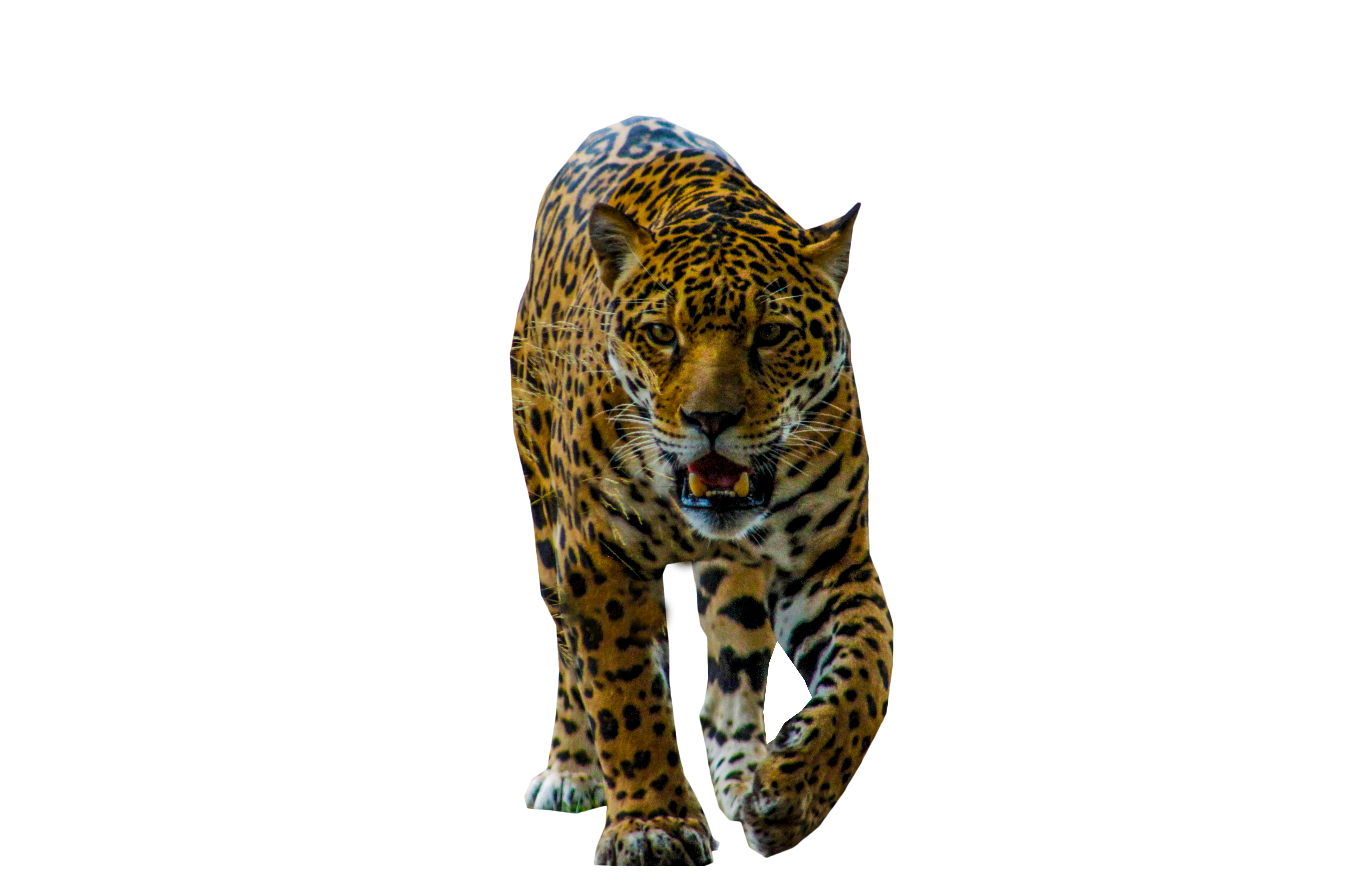 Panther walking png. Jaguar image purepng free