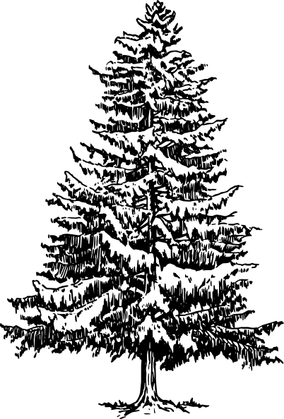 Pine drawing hand drawn