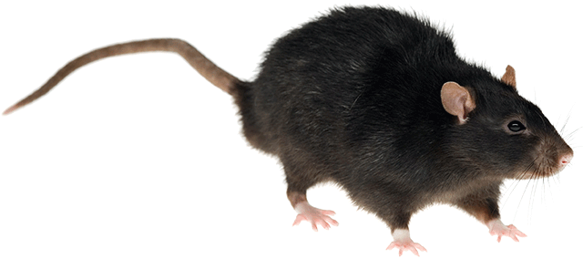 Black rat png. Vs mouse rentokil pest
