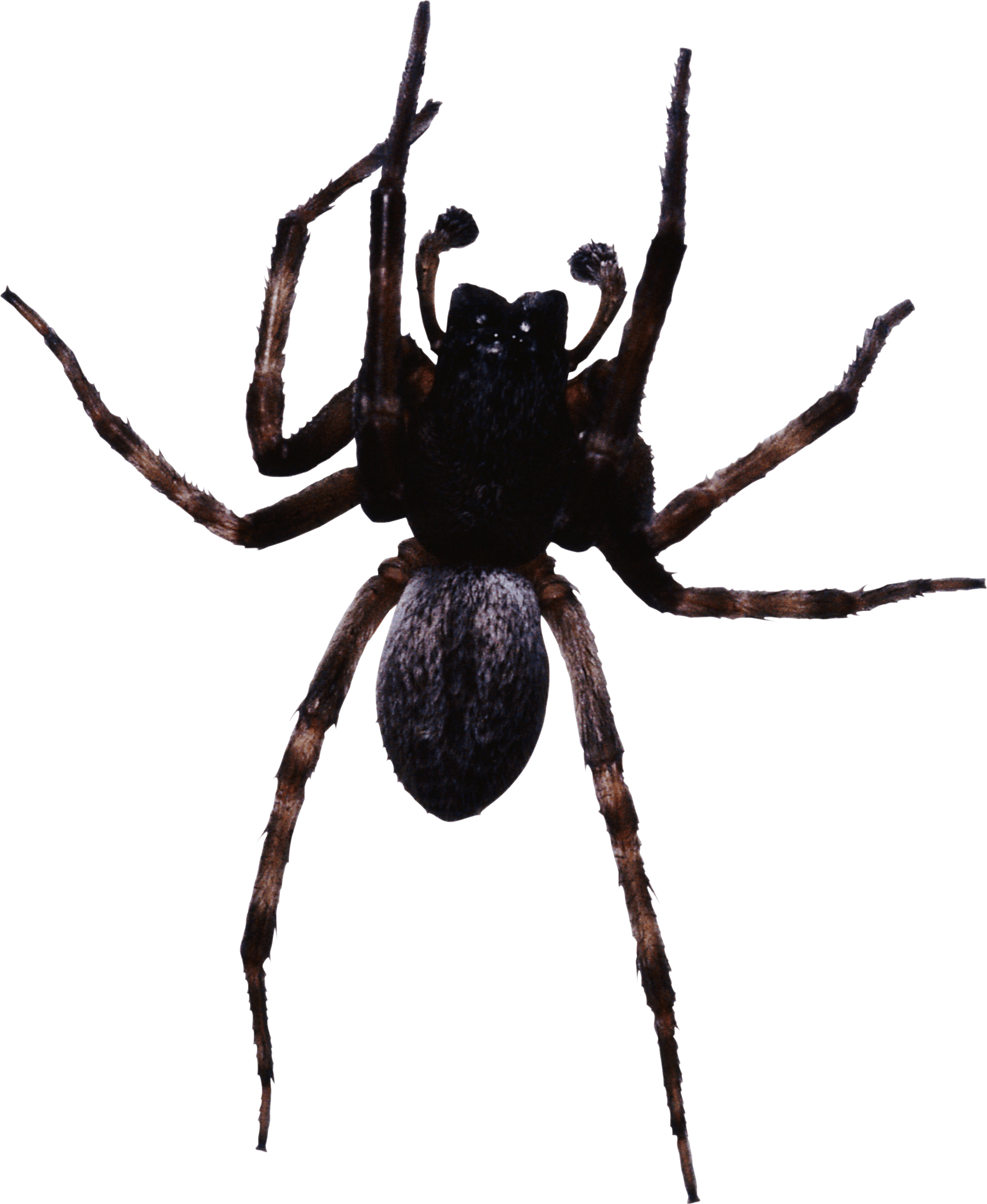 Transparent spider png. Large black stickpng