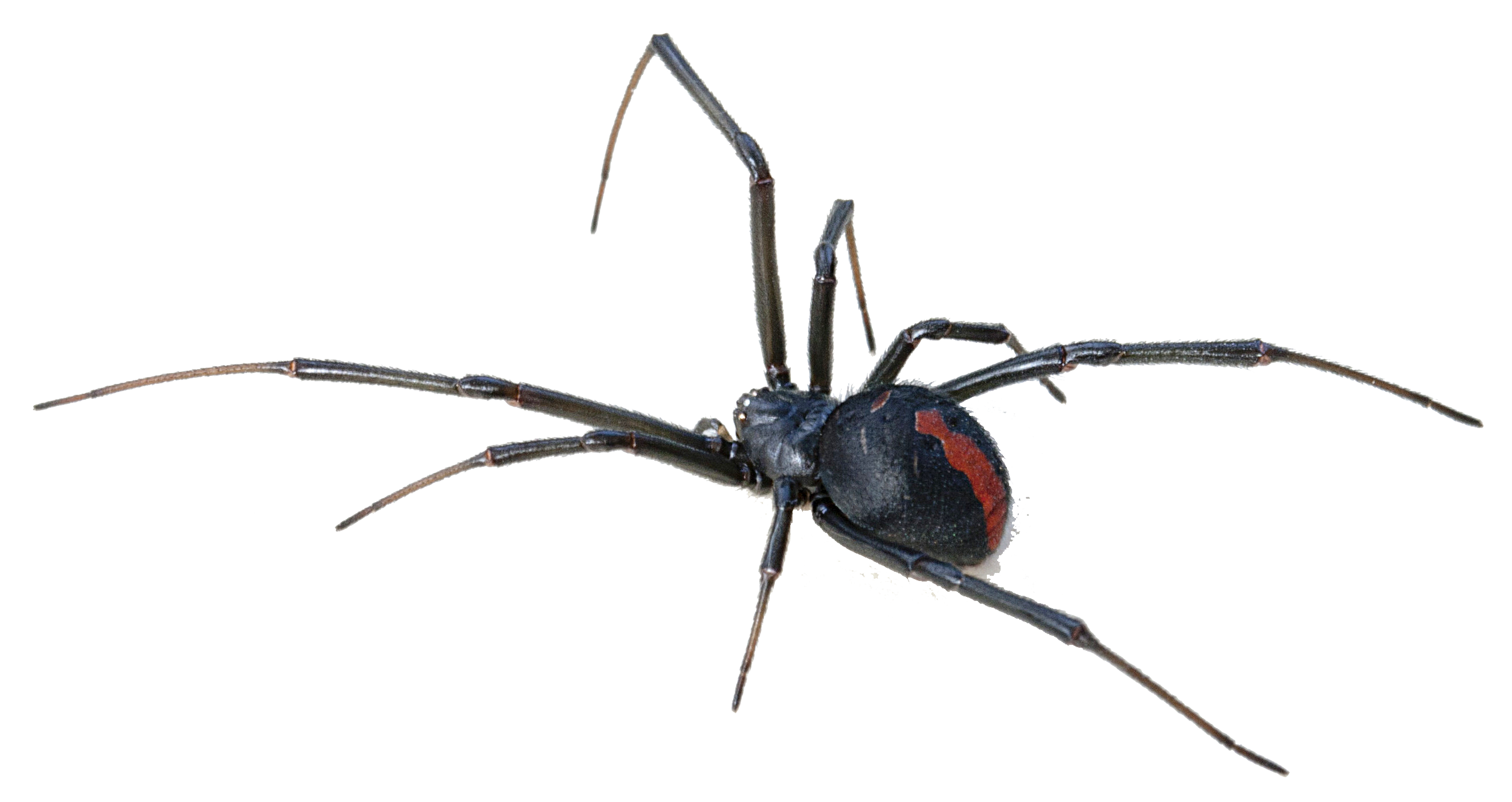 Spider hanging png. Black widow transparent background