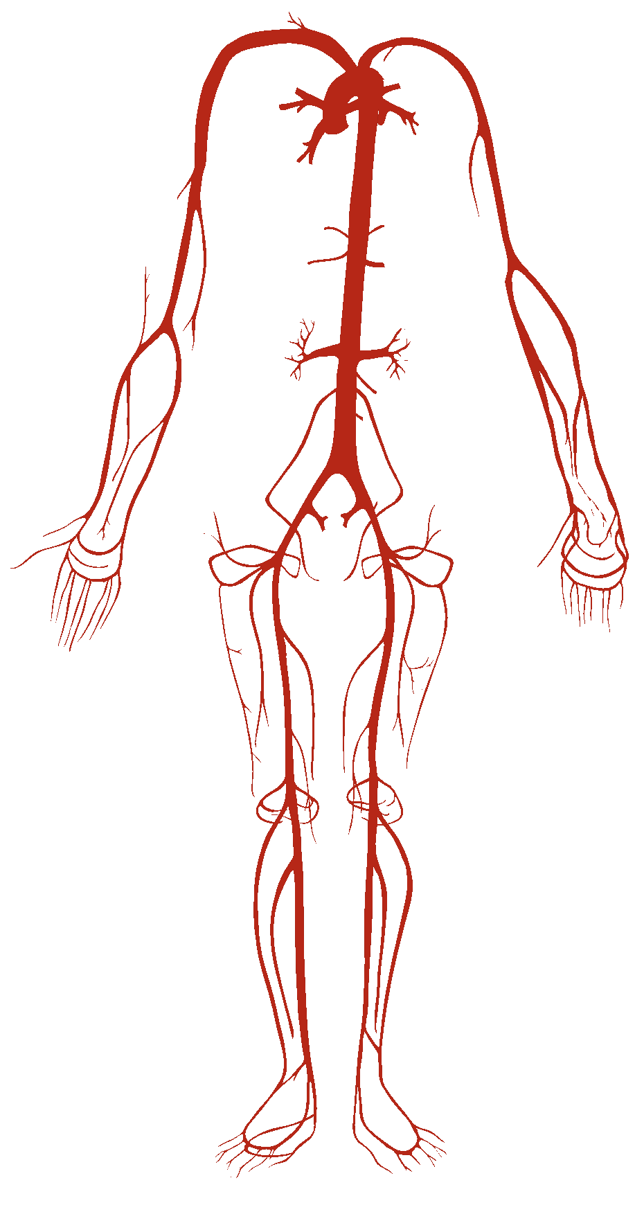 Blood gif png. File arterial system wikimedia