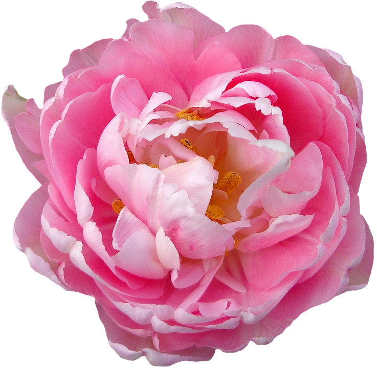 Blooming flower png. Free photo rose blossom