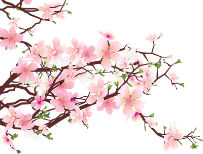 drawing wallpapers cherry blossom