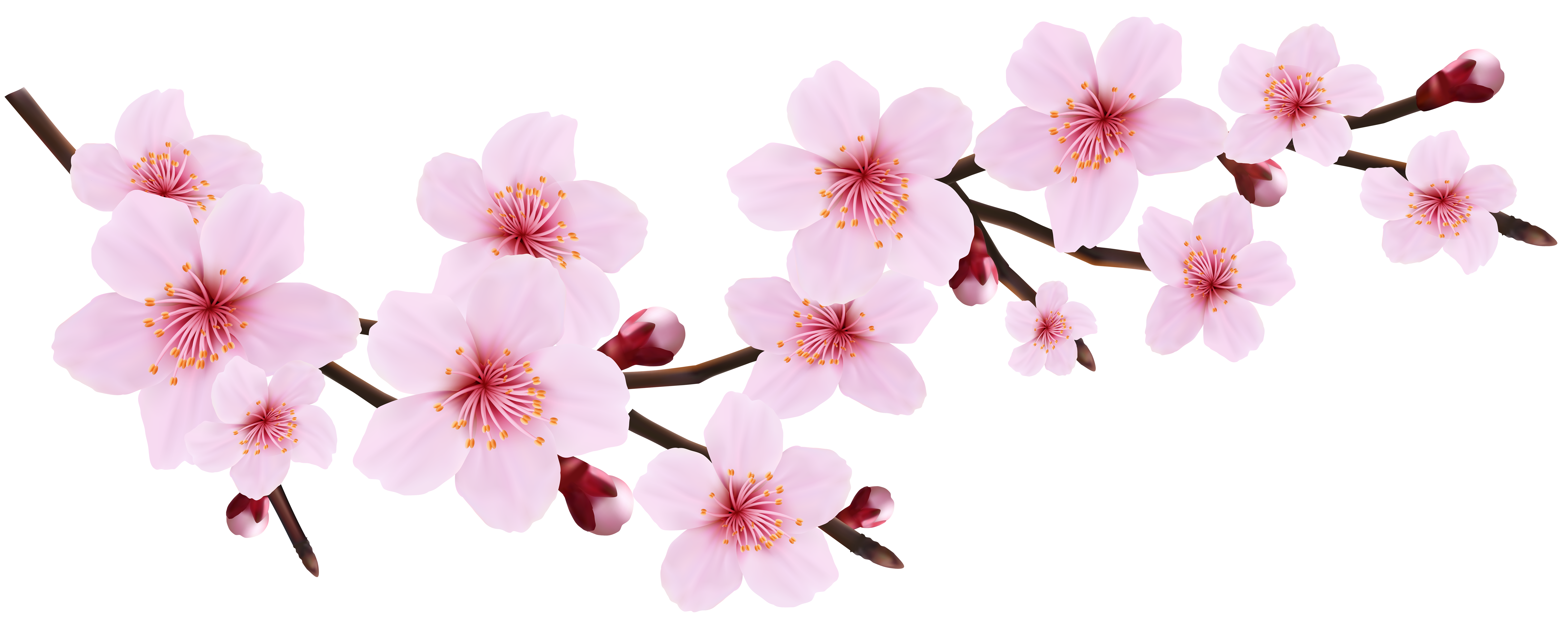 Cherry blossom png. Spring pink twig transparent