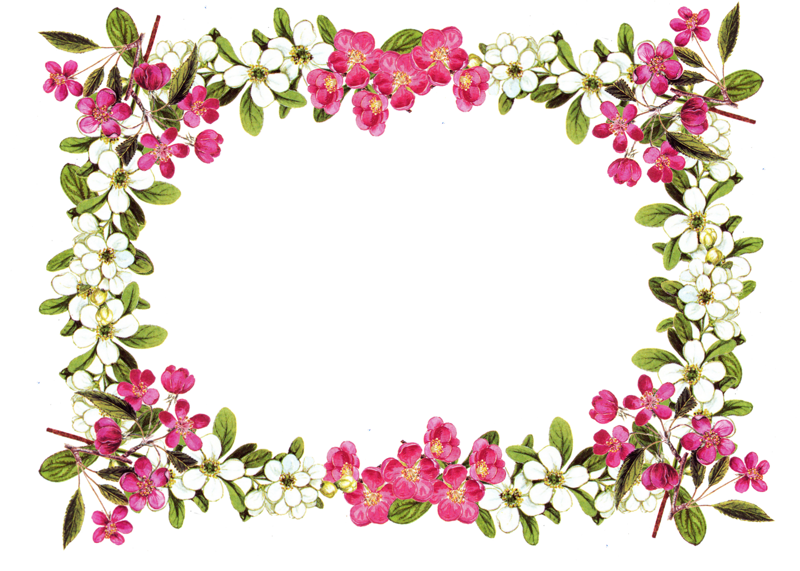 border clipart pink rose