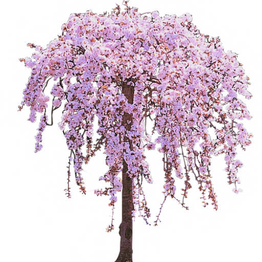 Blossom clipart weeping cherry tree. Pink in bloom by