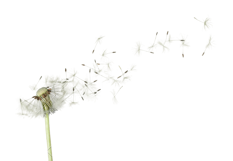 Blowing dandelion png. Flower photos by canva