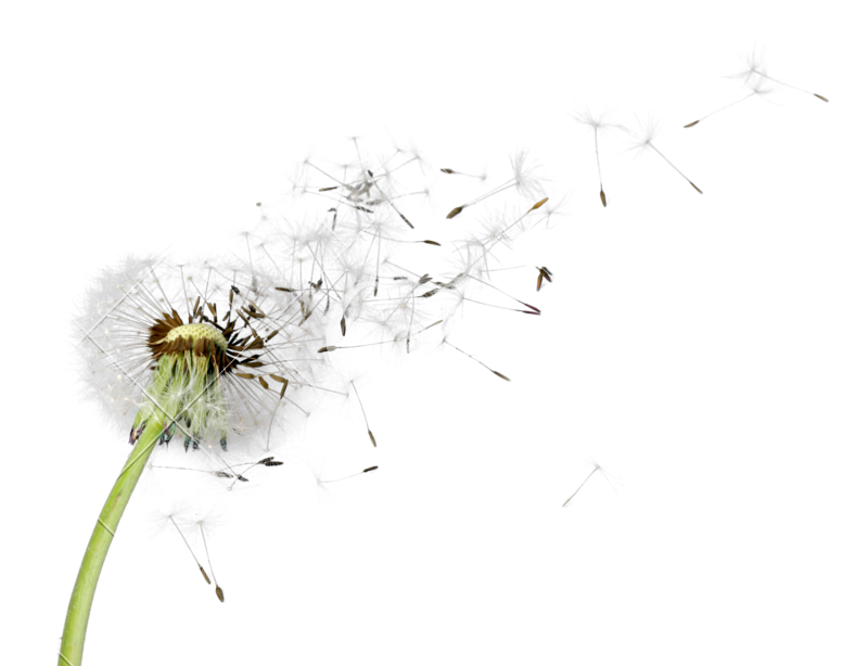 Blowing dandelion png. Photos by canva