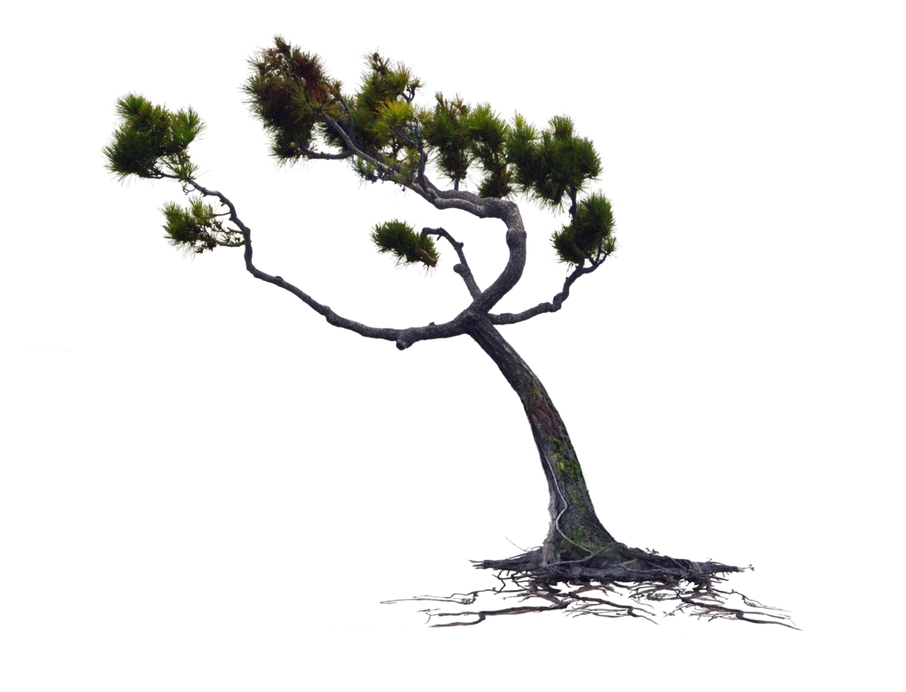 Blowing wind png. Blown pine tree stock