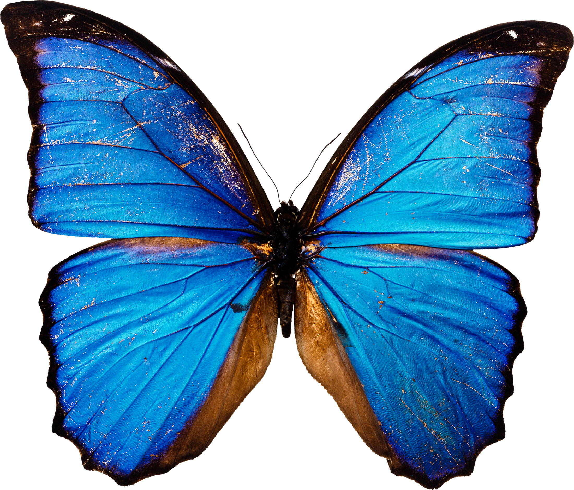 Blue butterfly png. Image