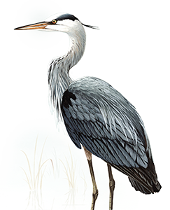 Heron vector great blue. Bird of myth and