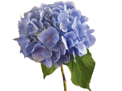 Flower meaning symbolism teleflora. Hydrangea transparent background png freeuse