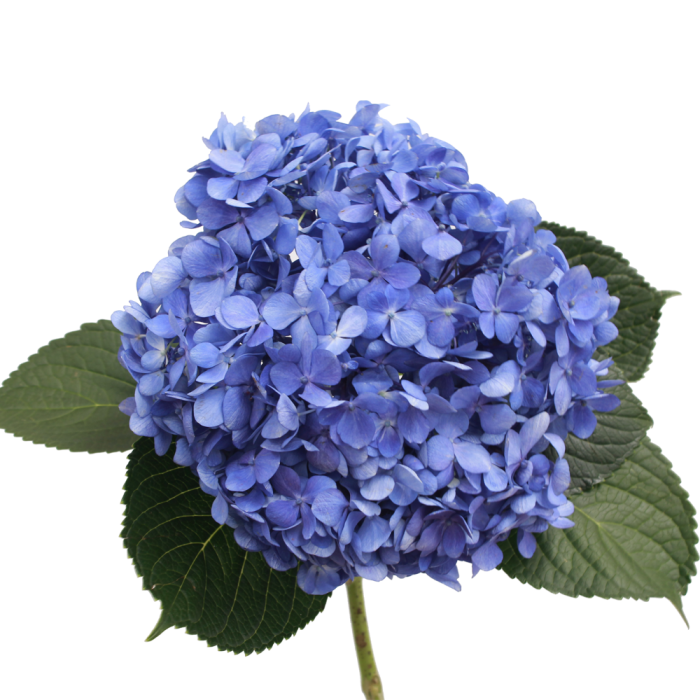Shocking blue select . Hydrangea transparent graphic library download