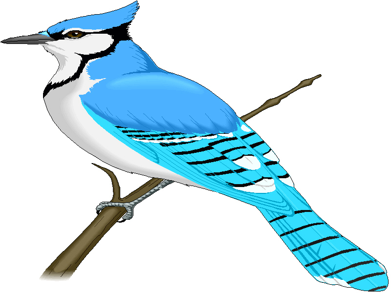 Blue jay. Free clipart download clip