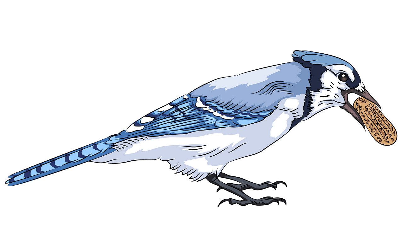 Blue jay. With peanut clipart free