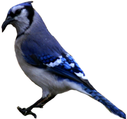 Blue jay png. Cutout stock by crematia