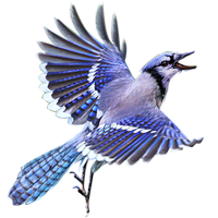 Blue jay png. Image huge item bluejay