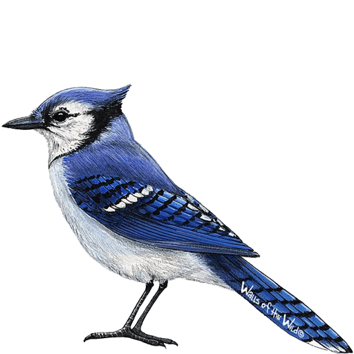 Blue jay png. Wall sticker used to