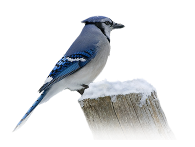 Blue jay png. Index of users tbalze