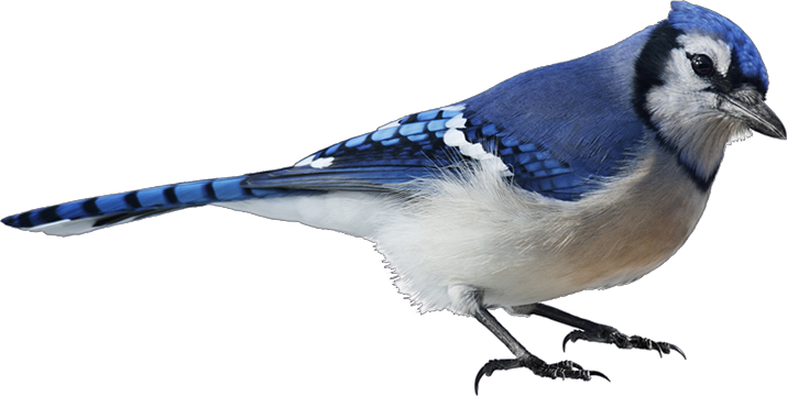 Blue jay png. Image animal jam clans