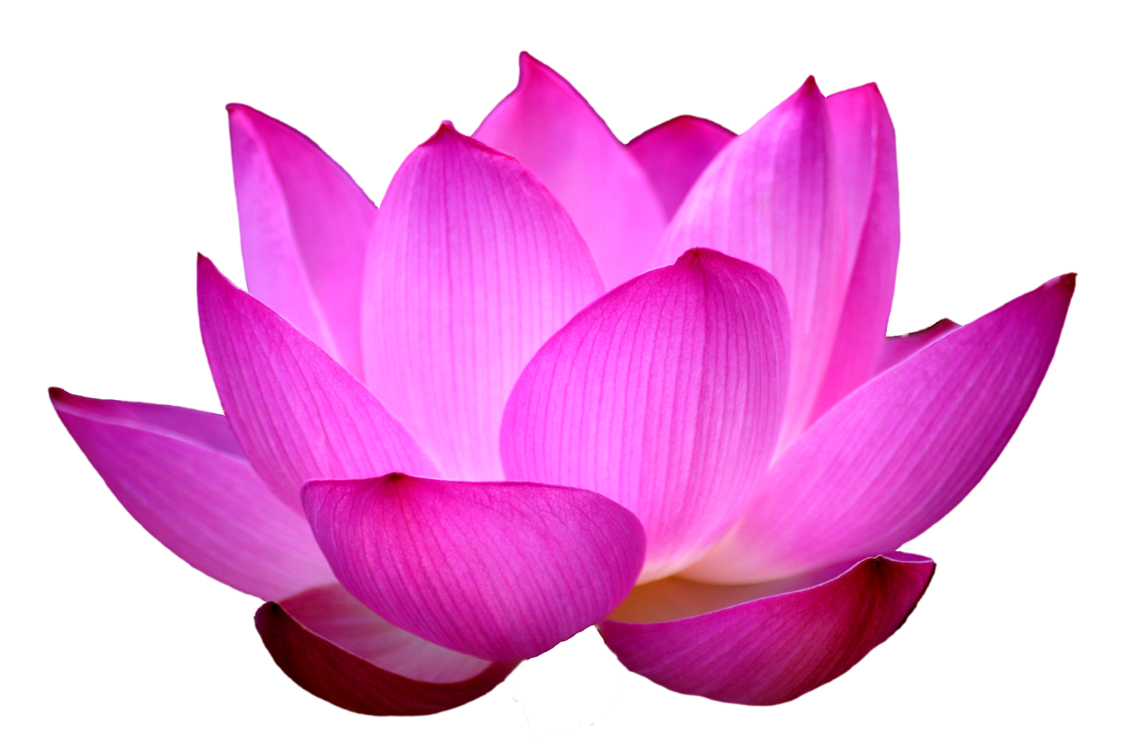 Lotus flower png. Images free download blue